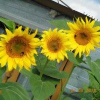 солнечные цветики :: игорь