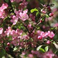 Яблони цвет... :: Светлана Дмитриева