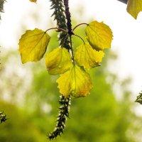 Молодые листья осины :: Виталий
