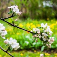 Яблони в саду.. :: Валерий Смирнов