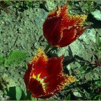 Бахромчатые тюльпаны :: Вера