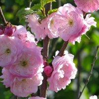 О, светлые мгновения Весны! :: Татьяна Смоляниченко