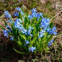 Первые весенние цветы. :: Natalia Grigoreva
