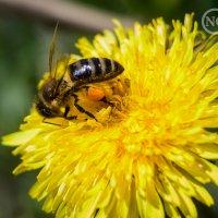 Труженица пчелка. :: Natalia Grigoreva