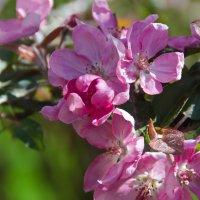Яблони в цвету :: Татьяна Василюк