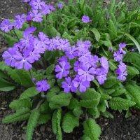 Весенние цветочки. :: Мила Бовкун