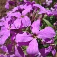 Цветочки из нашего двора :: Нина Корешкова