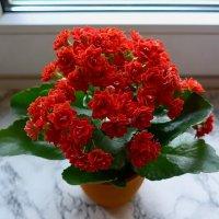 Цветы каланхое на подоконнике :: Nina Yudicheva