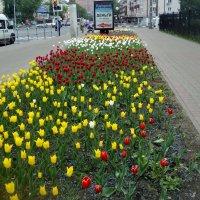 Тюльпаны в самом расцвете сил! :: Ольга Кривых