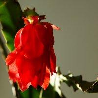 Цветок кактуса :: Алексей Golovchenko