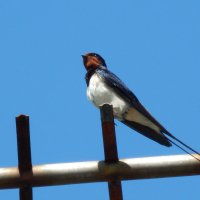 деревенская ласточка :: linnud