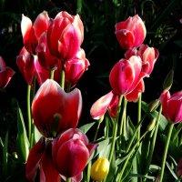 тюльпаны :: Olga Salnikova