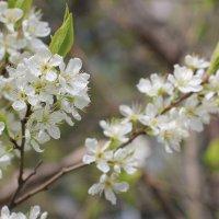 Вишня цветёт :: Олег Афанасьевич Сергеев