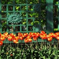 Петергофские тюльпаны :: Ирина Румянцева