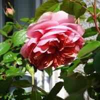 Первая, в этом году, на моем балконе расцвела «Английская роза»-Роза Девида Остина. :: Galina Dzubina