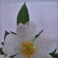 Цветок шиповника в слезах :: Нина Корешкова