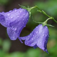 Цветы под дождём :: Андрей Майоров
