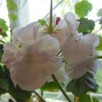 Герань цветет и пахнет :: игорь