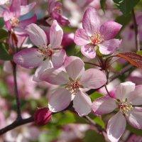 Яблоневый цвет :: Нина