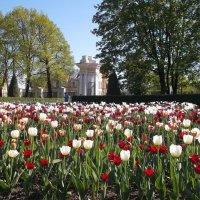 Цветение тюльпанов. :: VasiLina *