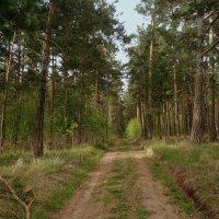 Дорога в лесу. :: Мила Бовкун