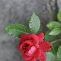 Вьющаяся роза :: Дмитрий
