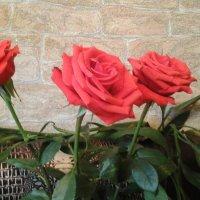 Розы :: Агриппина