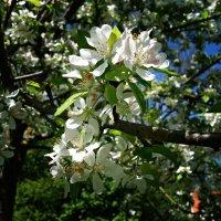 Венец весны – цветущий май. :: Galina Dzubina