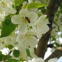 пчелка мая :: игорь