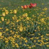 Полевые цветы, полевые цветы незатейливой красоты :: Владимир Максимов