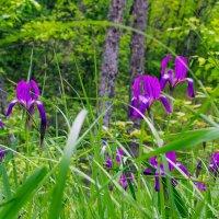 Ирисы в лесу :: Юрий Стародубцев