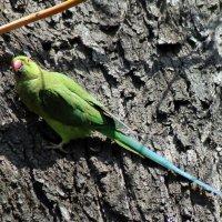 Ожереловый попугай :: Александр 72 Мил