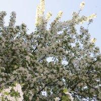 Яблони в цвету :: Антонина