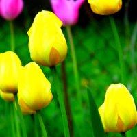 Тюльпаны :: Шура Еремеева
