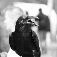 Черный ворон :: Александр