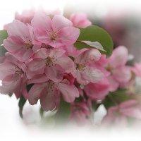 Вдыхаю яблоневый цвет..я дождалась его в улыбке мая.... :: Tatiana Markova