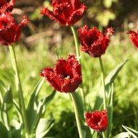 Тюльпаны в Сокольниках :: Юрий Королев