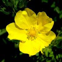 Солнечная лапчатка... :: Тамара (st.tamara)