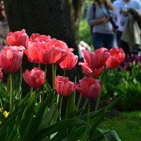 выставка тюльпанов :: VL