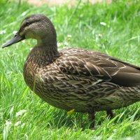 Новозеландская утка :: Антонина
