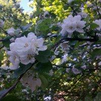 Яблоневый цвет :: Наталия Павлова