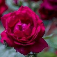 Майская роза :: Игорь Сикорский