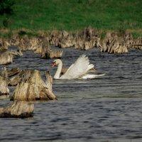 Лебедь. :: Сергей Титаренко