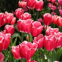 Розовые тюльпаны :: Анастасия Кисель