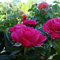 Розы на моем балконе :: Galina Dzubina