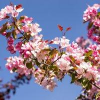 Яблоня в цвету :: Svetlana Barmetova