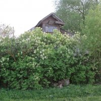 Дом утопающий в сирени. :: Михаил Попов