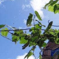 Быть винограду :: Наталья (D.Nat@lia)
