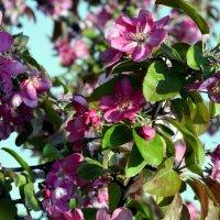 Яблони в цвету  / 3 / :: Сергей