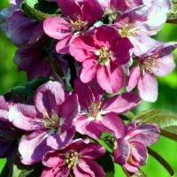 Яблони в цвету  / 4 / :: Сергей